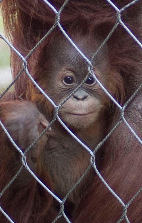 Fresno-Baby-Chimp-4