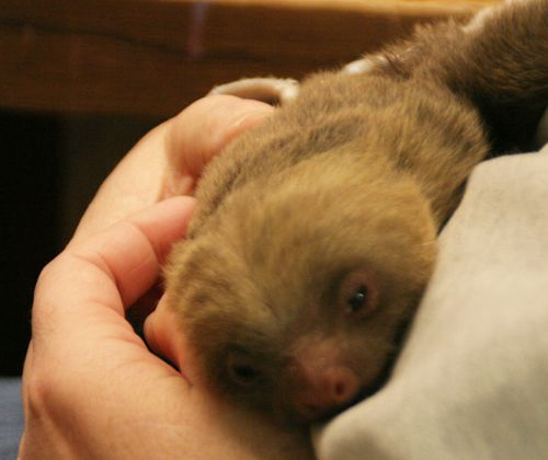New-baby-sloth-Rosamond-Gifford-Zoo-2