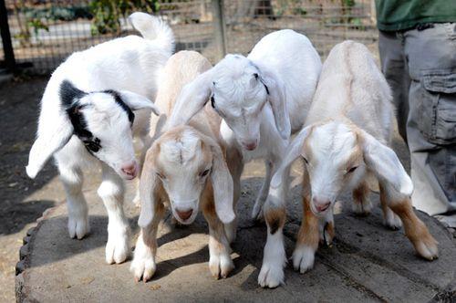 _Julie-Larsen-Maher-8297-Nubian-Goat-Kids-TCZ-CPZ-03-18-11