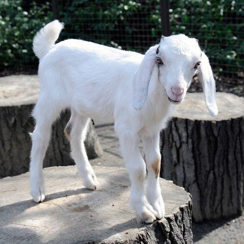 _Julie-Larsen-Maher-8120-Nubian-Goat-Kids-TCZ-CPZ-03-18-11