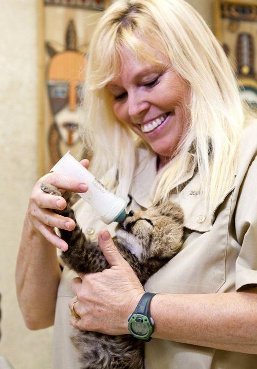 Cheetah Kitten Busch Gardens Tampa Bay 3