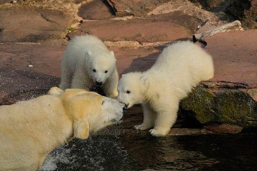 Polar-Bear-Twins-Nuremburg-3