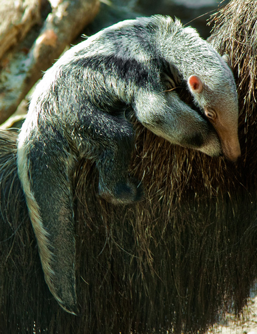 ZO-1103-_MG_0654-baby-anteater-28h