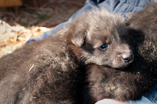 Greensboro-Maned-Wolf-Pups-1