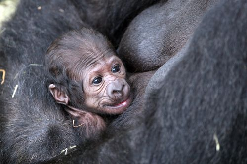 Dublin-Zoo-Gorilla