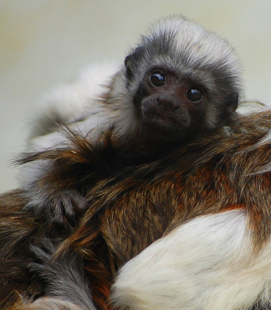 Baby Cotton Top Tamarin at the Marwell Zoo 1