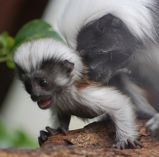 Baby Cotton Top Tamarin at the Marwell Zoo 2