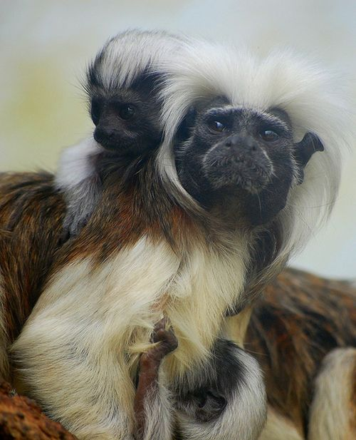 Baby Cotton Top Tamarin at the Marwell Zoo 3