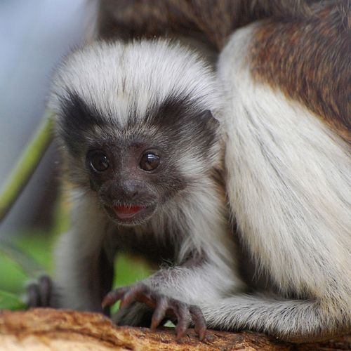 Baby Cotton Top Tamarin at the Marwell Zoo 4