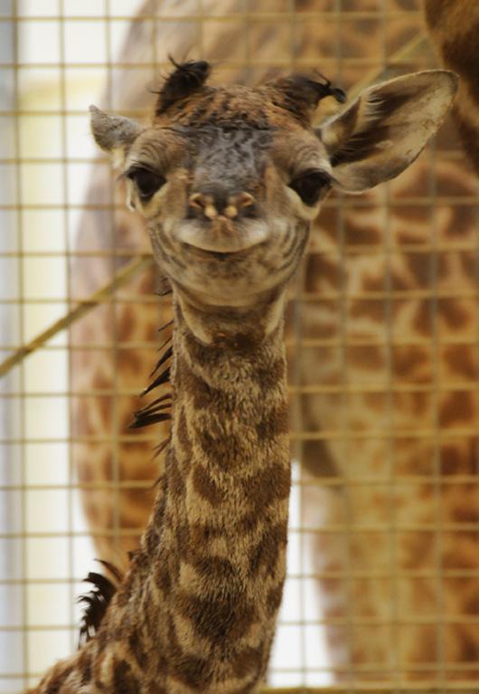 Cincinnati-zoo-giraffe3