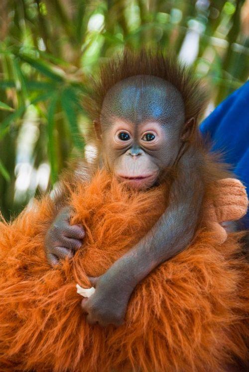 Baby Orangutan at the Houston Zoo 1