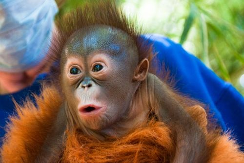 Baby Orangutan at the Houston Zoo 2