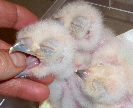 18.03.11-Turkmenian-Eagle-owlets-two-aged-4-days-and-one-12-hours-old-(12)