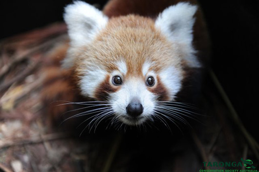 2red_panda_peter_hardin