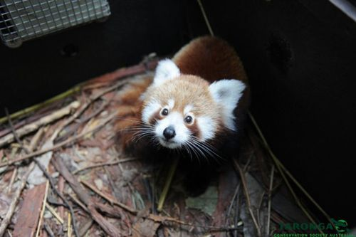 3red_panda_peter_hardin