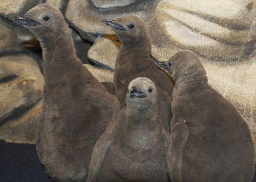 Seaworld_Orlando_Penguin_Chicks_2
