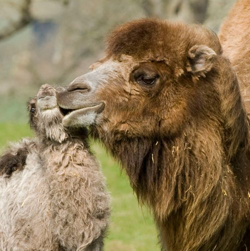 BN_KissingCamels_03close