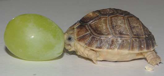 Tiny_tortoise_grape-