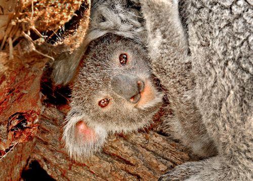 Koala-Joey-2-14-11--070-Tad-Motoyama-