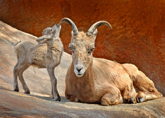 Big-Horn-Sheep-Baby-Chewing-on-Mom's-Horn-4-2-11_Tad-Motoyama-1599