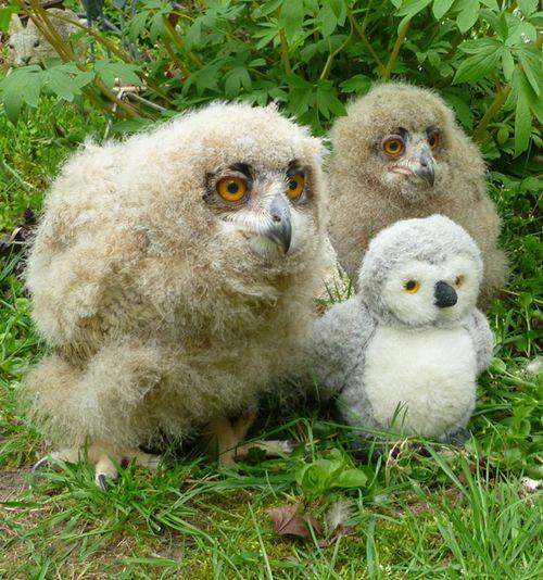 Turkmenian-Eagle-Owl-4-weeks-old