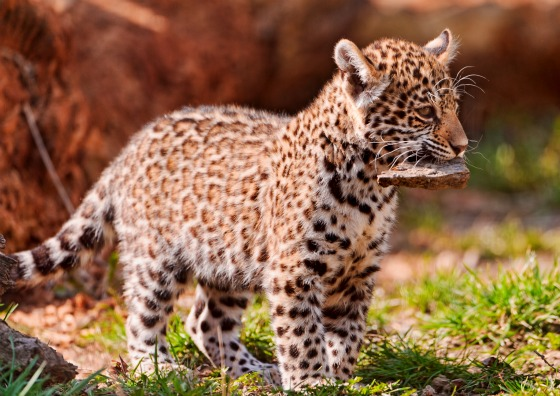 American Jaguar Cubs Venture Out In Europe - ZooBorns