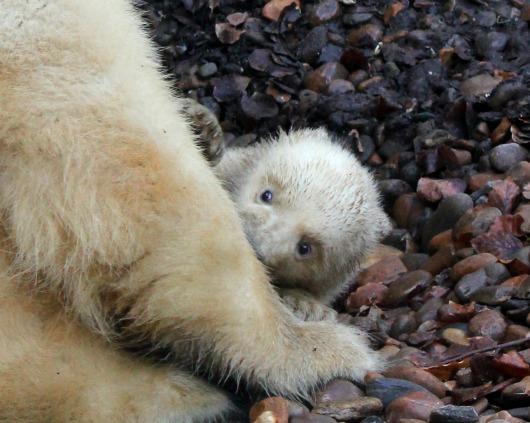 Little Polar Bear cub at Aalborg Zoo 4