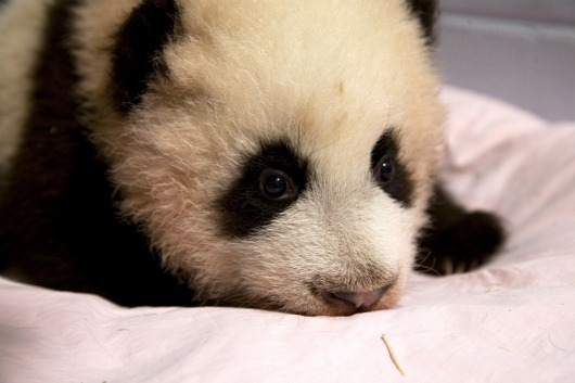 Baby Panda at Zoo Atlanta 1