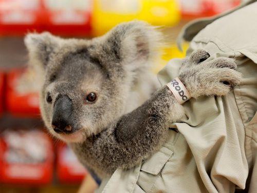 Frodo the Koala with keeper taking a peek