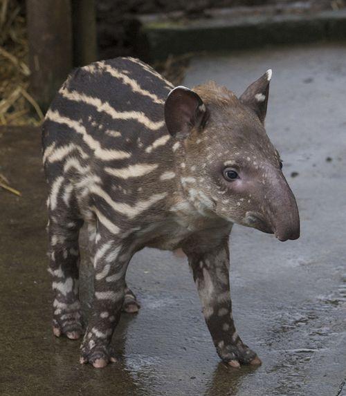 Bristol-Zoo-Baby-tapir-Bob-Pitchford-2