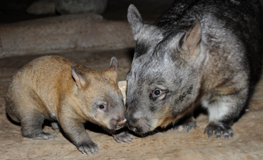 Baby wombat and mom at Brookfield Zoo 2