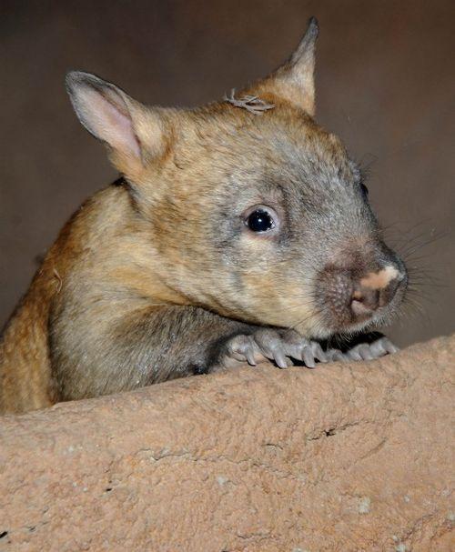 Little wombat says hello