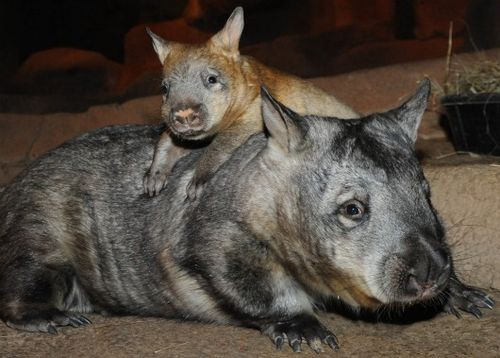Baby wombat climbs on mom at the Brookfield Zoo