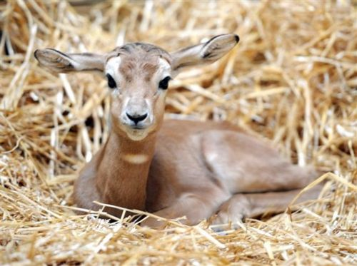 Baby Addra Gazelle at Maryland Zoo