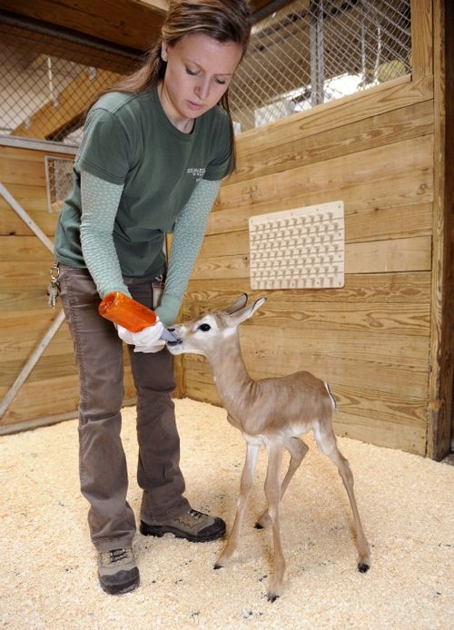 Dinner time for a little Addra Gazelle calf at Maryland Zoo1