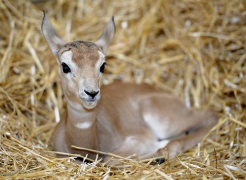 Addra Gazelle calf in the hay at Maryland Zoo1