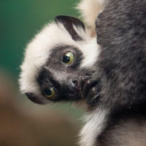 Sifaka3_EthanRiepl_Saint-Louis-Zoo