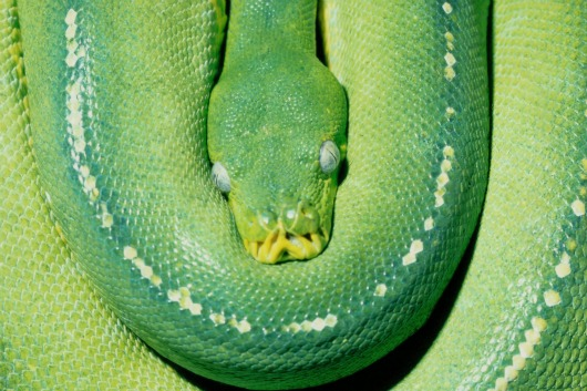 Adult color Green Tree Python Houston Zoo1