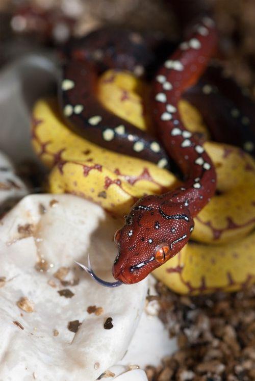 Green Tree Pythons brown baby 4