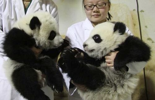Panda Cubs at Madrid Zoo 2