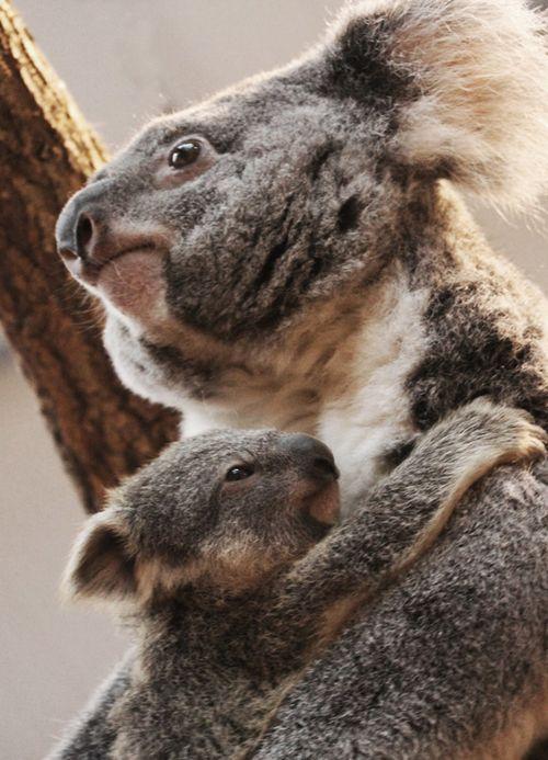 Bebe_koala_EORA-(c)ZooParcdeBeauval-(1)