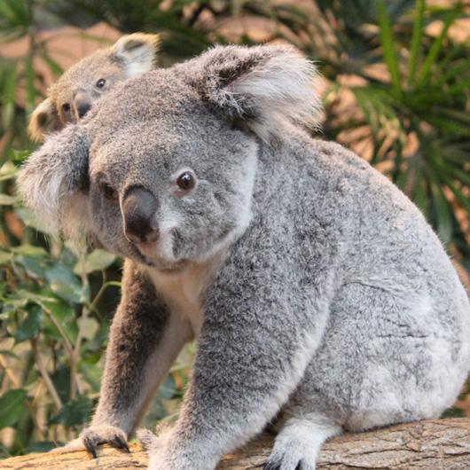 Bebe_koala_EORA-(c)ZooParcdeBeauval-(3)