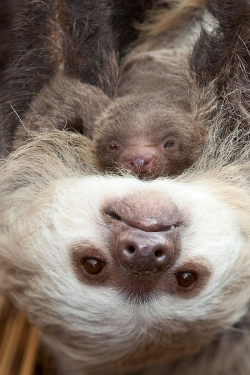Baby sloth clings to mom at Lincoln Park Zoo 1