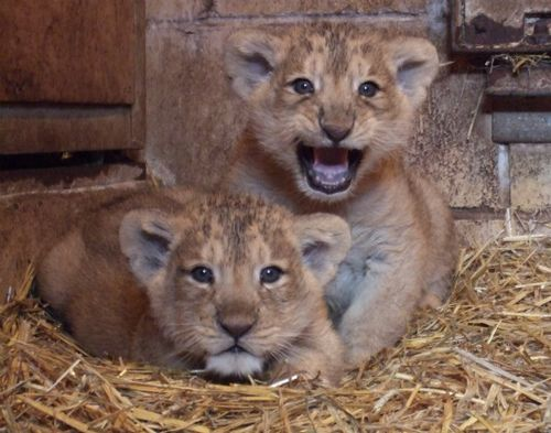 Lion cubs at Bristol Zoo. Credit Bristol Zoo Gardens 1
