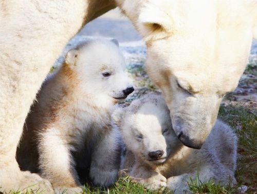 Polar Bear cubs at Ouwehands Zoo