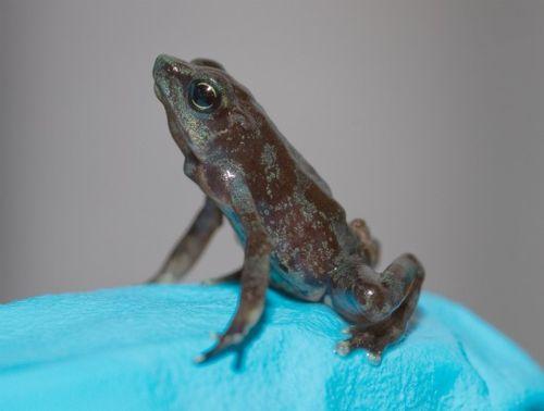 Atelopus limosus baby 2