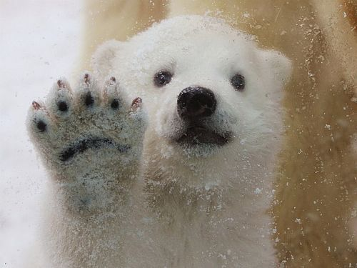 Polar Bear cub waves hello at Aalborg Zoo 1