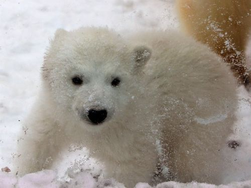 Portrait of a Polar Bear as a Young Cub