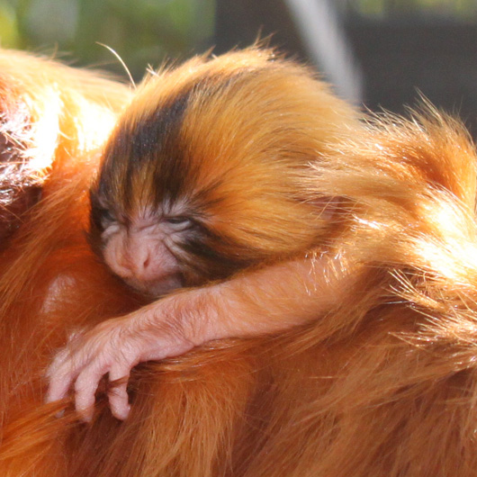 Golden-lion-tamarin-baby-best-credit-Katie-Clemons copy
