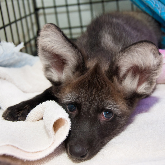 houstons maned wolf pups are all ears zooborns